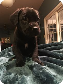 Boxer/Labrador Retriever Mix Puppy for adoption in Jacksonville, North Carolina - Winter