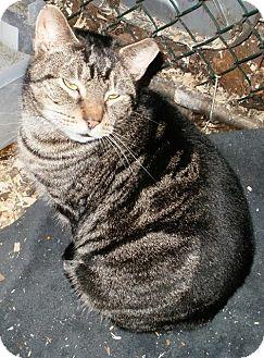 American Shorthair Cat for adoption in Wanaque, New Jersey - Jaxsin