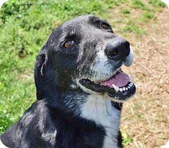 Border Collie/Labrador Retriever Mix Dog for adoption in Iola, Texas - Lilly Mae