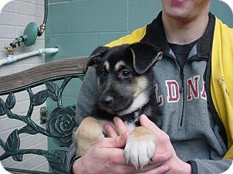 Australian Shepherd/German Shepherd Dog Mix Puppy for adoption in Olympia, Washington - 42958