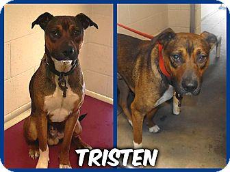 Labrador Retriever Mix Dog for adoption in Sanford, North Carolina - Tristen