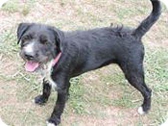 Schnauzer (Standard)/Terrier (Unknown Type, Medium) Mix Dog for adoption in Cottonport, Louisiana - Scottie