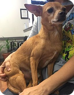Chihuahua Mix Dog for adoption in Saddle Brook, New Jersey - SHORTY