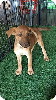 Labrador Retriever Mix Puppy for adoption in Carson, California - Breeze