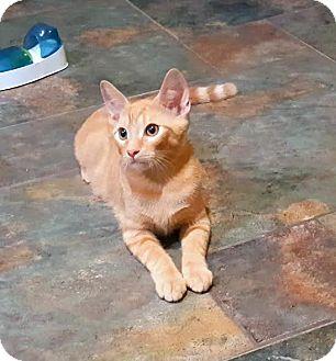 Domestic Shorthair Cat for adoption in Pasadena, California - Bobby
