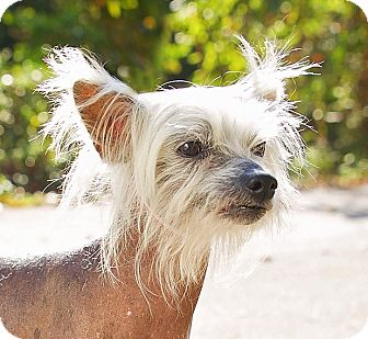 Chinese Crested Dog for adoption in Cincinnati, Ohio - Foxy