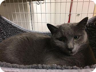 Domestic Shorthair Cat for adoption in Gunnison, Colorado - Shadow
