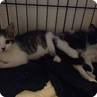 Maine Coon Kitten for adoption in Sunny Isles Beach, Florida - Shaina