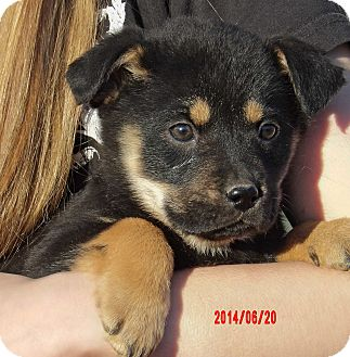 German Shepherd Dog/Akita Mix Puppy for adoption in Williamsport, Maryland - Mystic (6 lb) Video!