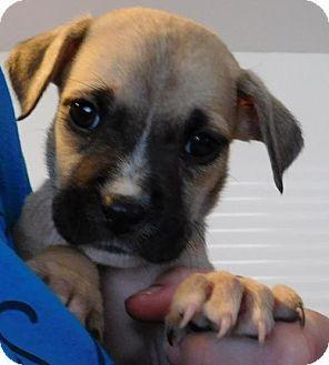 Boxer Mix Dog for adoption in Von Ormy, Texas - Laurel