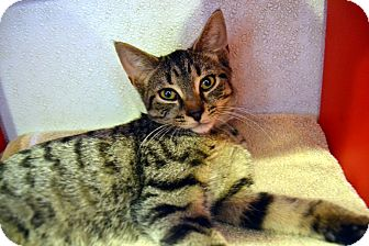 Domestic Shorthair Cat for adoption in Broadway, New Jersey - Moses