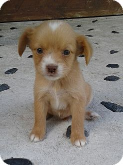 Chihuahua/Shih Tzu Mix Puppy for adoption in Miami, Florida - April