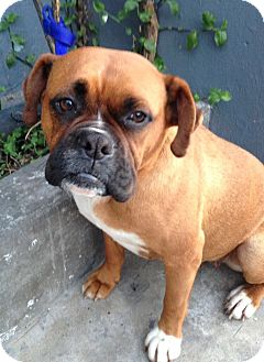 Boxer Dog for adoption in Irvine, California - CHINA