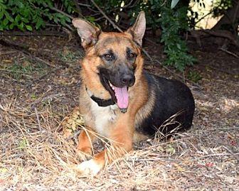 German Shepherd Dog Dog for adoption in San Diego, California - Gage