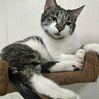 Domestic Shorthair Cat for adoption in Park Falls, Wisconsin - Hypo