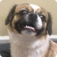Adopt A Pet :: Sassy - Peoria, AZ