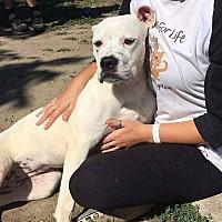 Adopt A Pet :: Gwen - Troy, MI