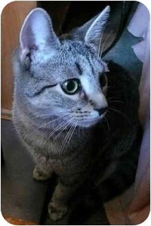 Domestic Shorthair Kitten for adoption in Long Beach, New York - Smokey