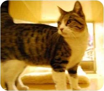 Domestic Shorthair Cat for adoption in Modesto, California - Seraphina