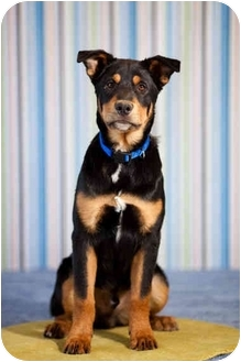 Rottweiler/German Shepherd Dog Mix Puppy for adoption in Portland, Oregon - Oliver