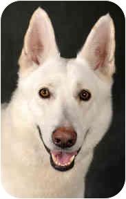 German Shepherd Dog Dog for adoption in Chicago, Illinois - Jack
