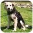 Photo 2 - Collie/German Shepherd Dog Mix Dog for adoption in Latrobe, Pennsylvania - Gordon