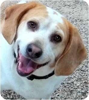 Beagle Dog for adoption in Pawling, New York - OSCAR