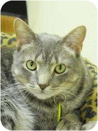 Domestic Shorthair Cat for adoption in Oklahoma City, Oklahoma - Skylar