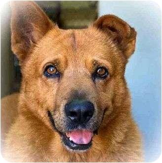 Chow Chow/German Shepherd Dog Mix Dog for adoption in Berkeley, California - Sonny Boy