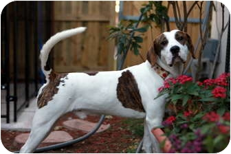 Pointer/American Bulldog Mix Dog for adoption in Ft. Myers, Florida - Charlie