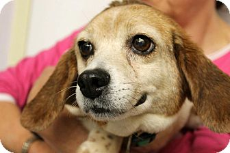 Beagle Dog for adoption in Buffalo, New York - Ginger: < 20 pounds.