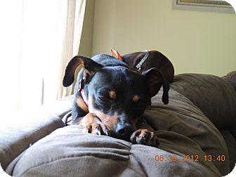 Miniature Pinscher Dog for adoption in Nashville, Tennessee - Zea