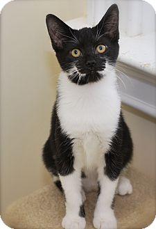 Domestic Shorthair Kitten for adoption in Trevose, Pennsylvania - Jasper