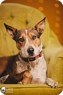 Australian Cattle Dog Mix Dog for adoption in Portland, Oregon - Pumpkin