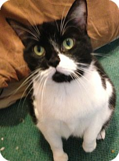 Domestic Shorthair Cat for adoption in Chicago, Illinois - Stella