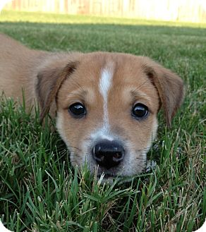Australian Shepherd Mix Puppy for adoption in Cranford, New Jersey - Baxter