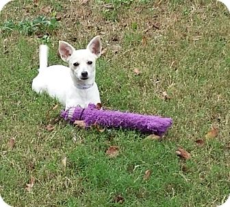 Chihuahua/Terrier (Unknown Type, Small) Mix Dog for adoption in Houston, Texas - MOLLY
