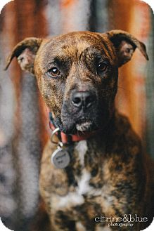 Boxer Mix Dog for adoption in Portland, Oregon - Tennessee