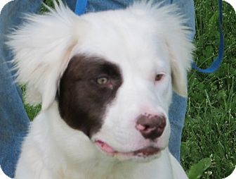 Australian Shepherd/Brittany Mix Dog for adoption in Washington, D.C. - Coconut