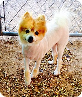 Pomeranian Mix Dog for adoption in Tucson, Arizona - Baby Boy