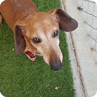 Dachshund Mix Dog for adoption in Denver, Colorado - Link