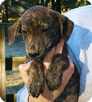 Dachshund Mix Puppy for adoption in Chicago, Illinois - George - fostered in Wisconsin