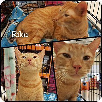Domestic Shorthair Cat for adoption in North Richland Hills, Texas - Riku