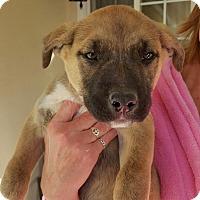 Adopt A Pet :: HUSKY/BELGIAN MALINOIS MIX - Winnetka, CA