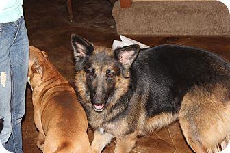 German Shepherd Dog Mix Dog for adoption in Portland, Maine - Millie