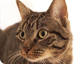 Domestic Shorthair Cat for adoption in Chaska, Minnesota - Queenie