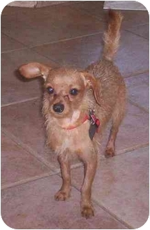 Australian Terrier/Dachshund Mix Dog for adoption in Cocoa, Florida - Mickey