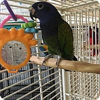 Adopt A Pet :: Squirt - Punta Gorda, FL