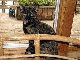 Domestic Shorthair Kitten for adoption in Polson, Montana - Turtle