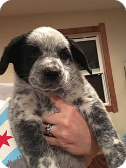 Border Collie/Australian Cattle Dog Mix Puppy for adoption in Sugar Grove, Illinois - Carly